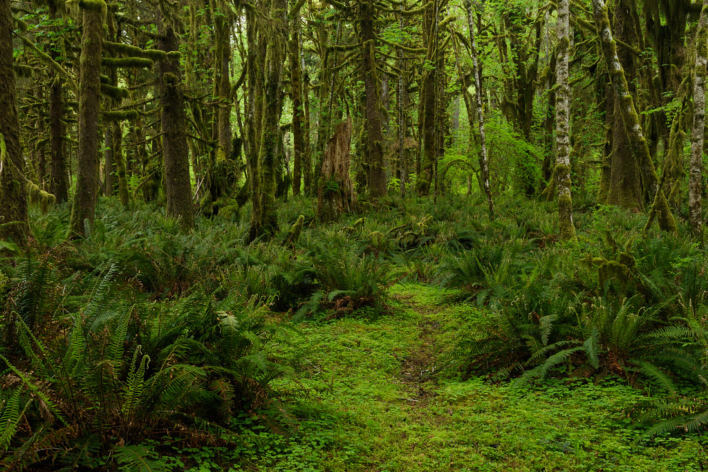 Ferns grow below moss-covered trees in the Quinault Rain Forest
