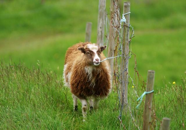 Sheep eating fence