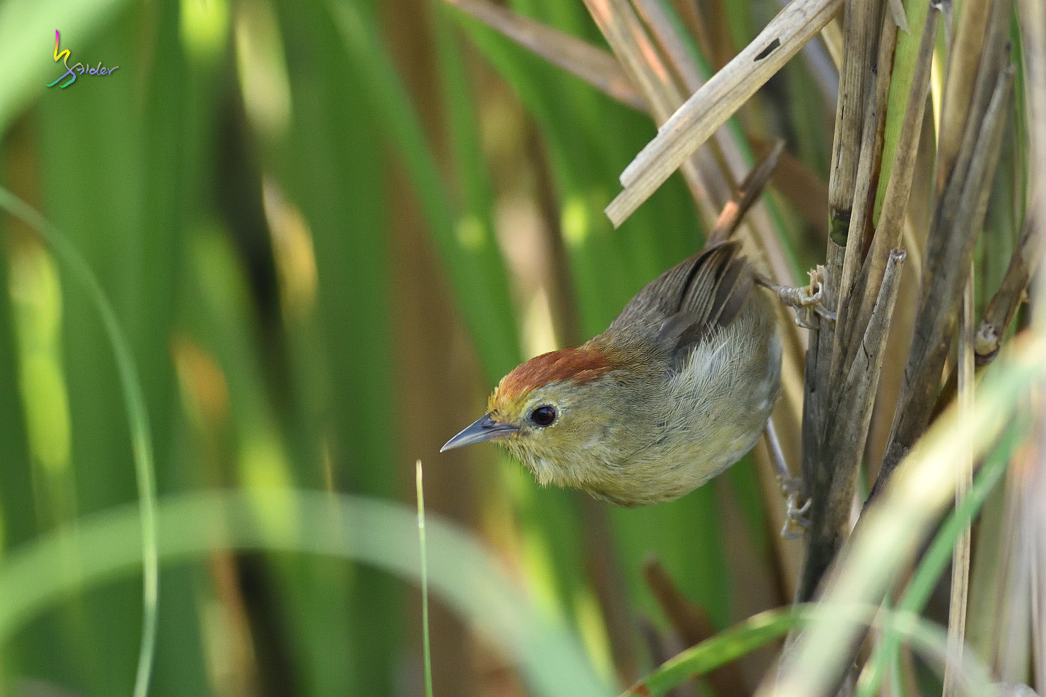Red-headed_Babbler_0742