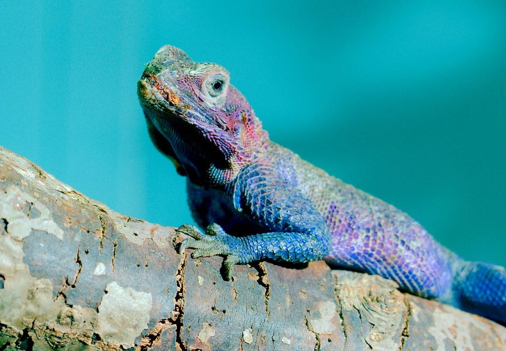 Starred Agama Lizard_1