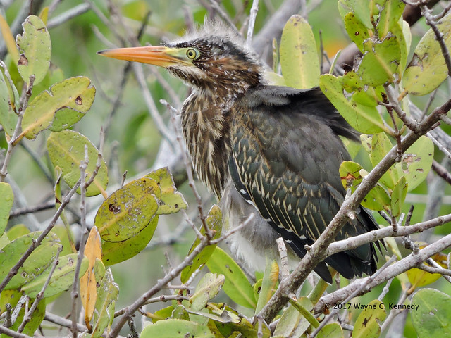 Green Heron chick along, Nikon COOLPIX P600