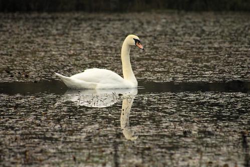 Irland-Schwan-swan