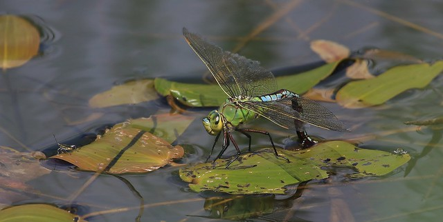 Emperor Dragonfly - Female (Anax imperator)