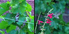 Calliope Hummingbird (Stellula calliope) male in my garden.  Albuquerque, New Mexico, USA.