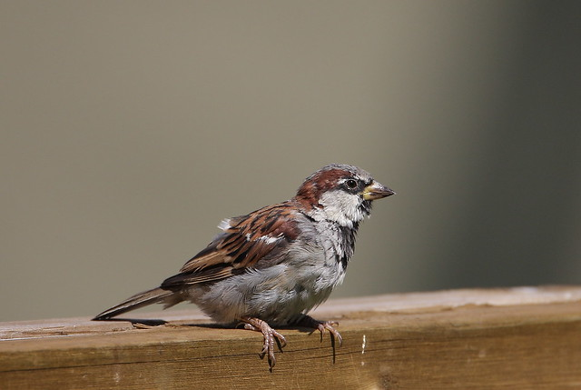 EOS50224 View large. House Sparrow after a bath