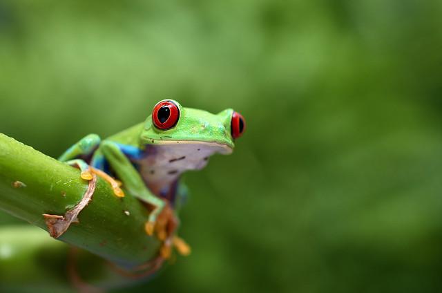 Tree Frog, Nikon D7000, Sigma Macro 50mm F2.8 EX DG