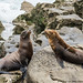 Sea Lions at La Jolla (20170727-DSC02867)