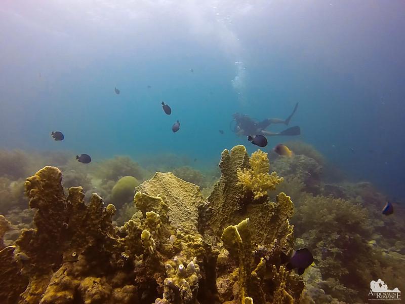 Agariciidae corals