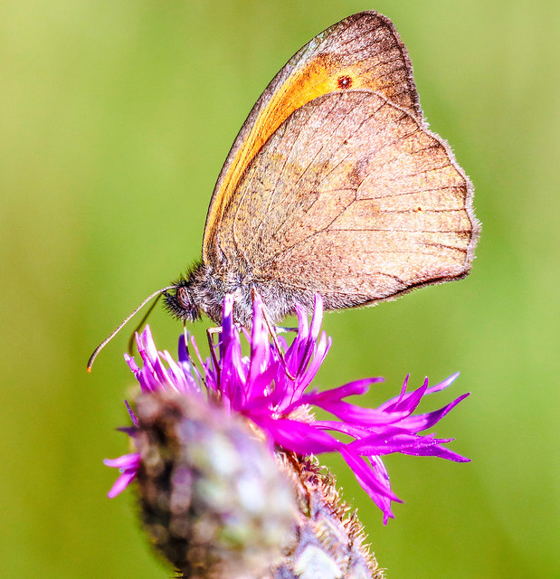 clouded yellow on a thistle