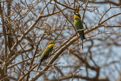 lakealbert meropshirundineus murchison murchisonfallsnationalpark maleandfemale pair nwoya northernregion uganda