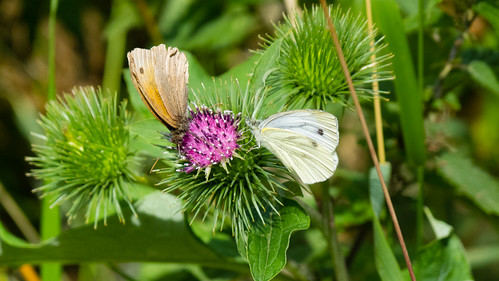 Meadow brown and small white butterflies on thistle flower