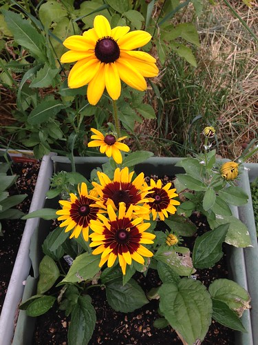 Rudbeckia - Denver Daisy and Indian Summer