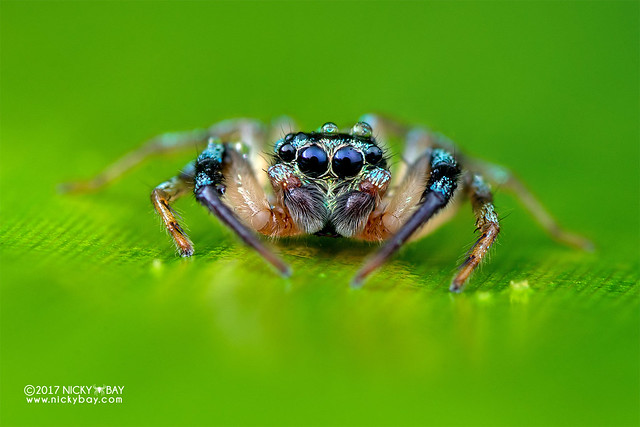 Jumping spider (Thiania sp.) - DSC_7655