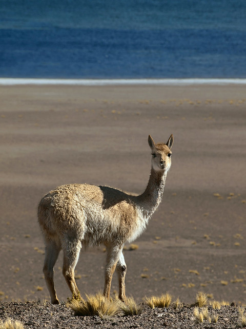 Vicuna, Andes