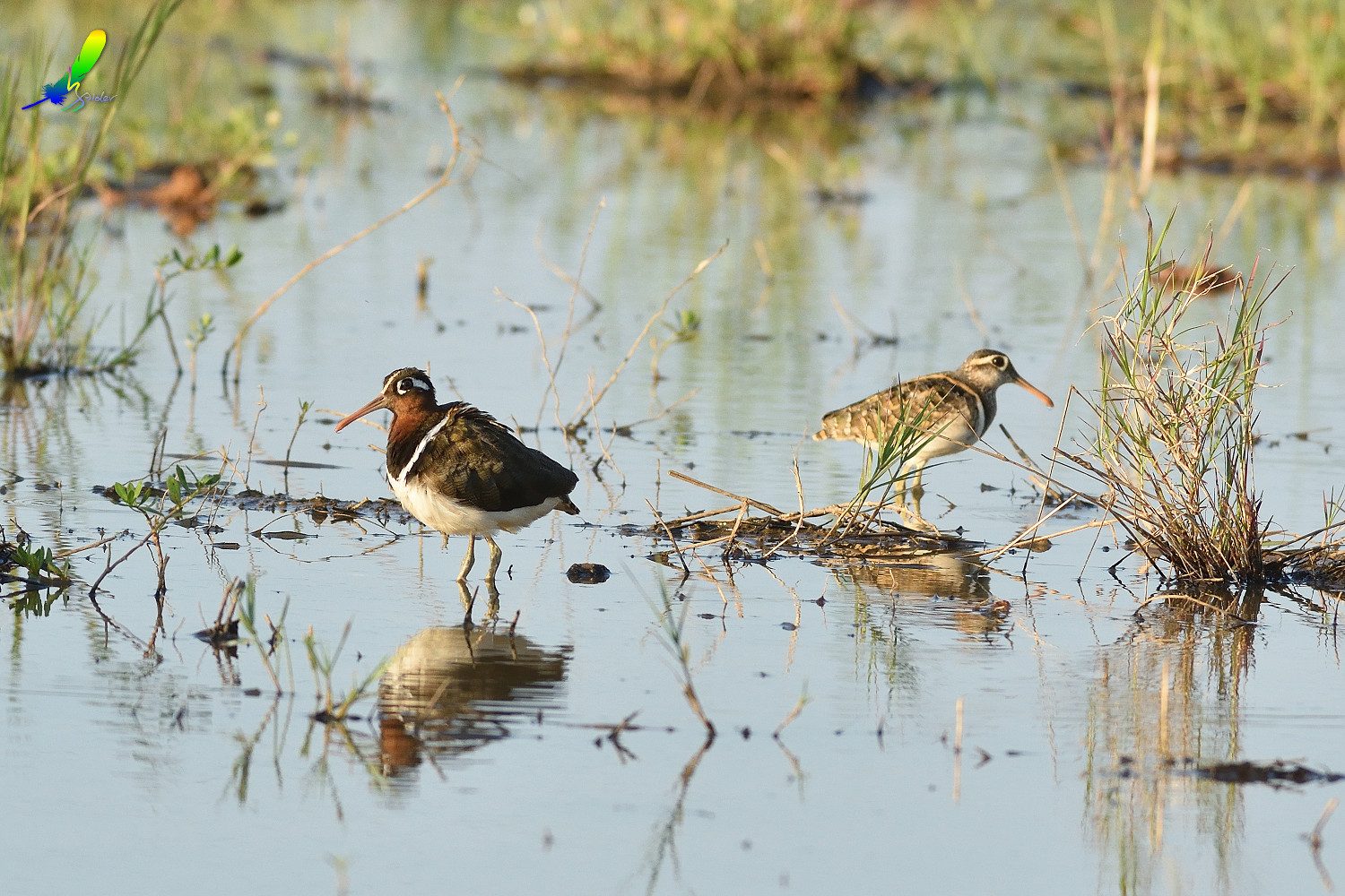 Painted_Snipe_0236