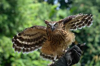 Eurasian Eagle Owl, Jurong Bird Park