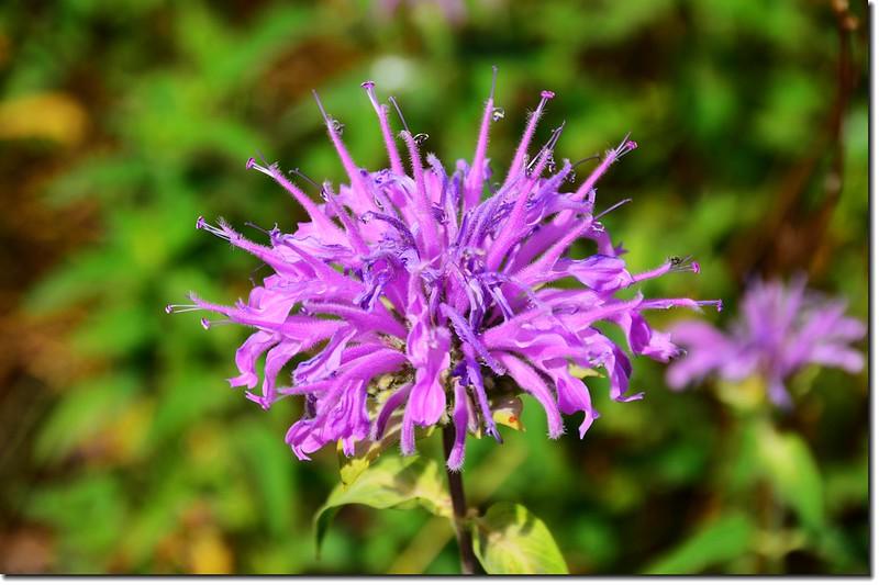 Monarda (Bee Balm、Bergamot、Horsemint)