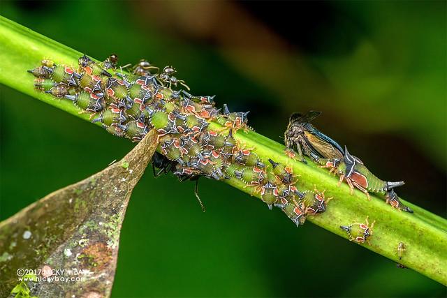 Treehoppers (Centrotypus shelfordi) - DSC_7287