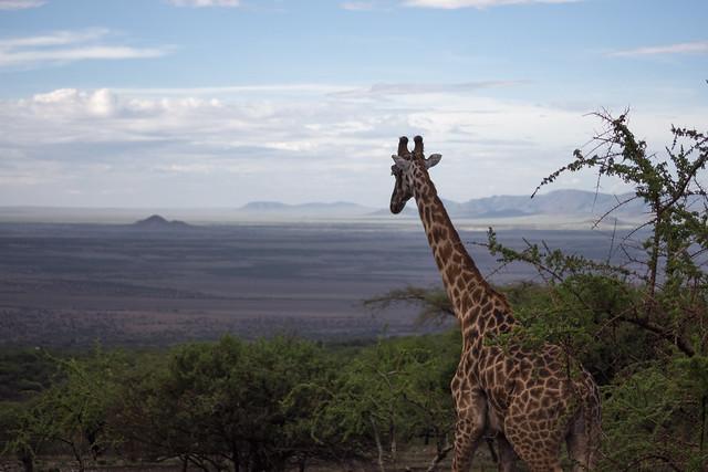 Tanzanian Giraffe