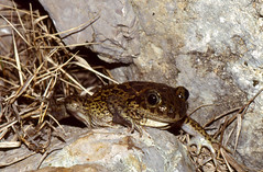 Western Spadefoot Toad (Pelobates cultripes) coming to the pond ...