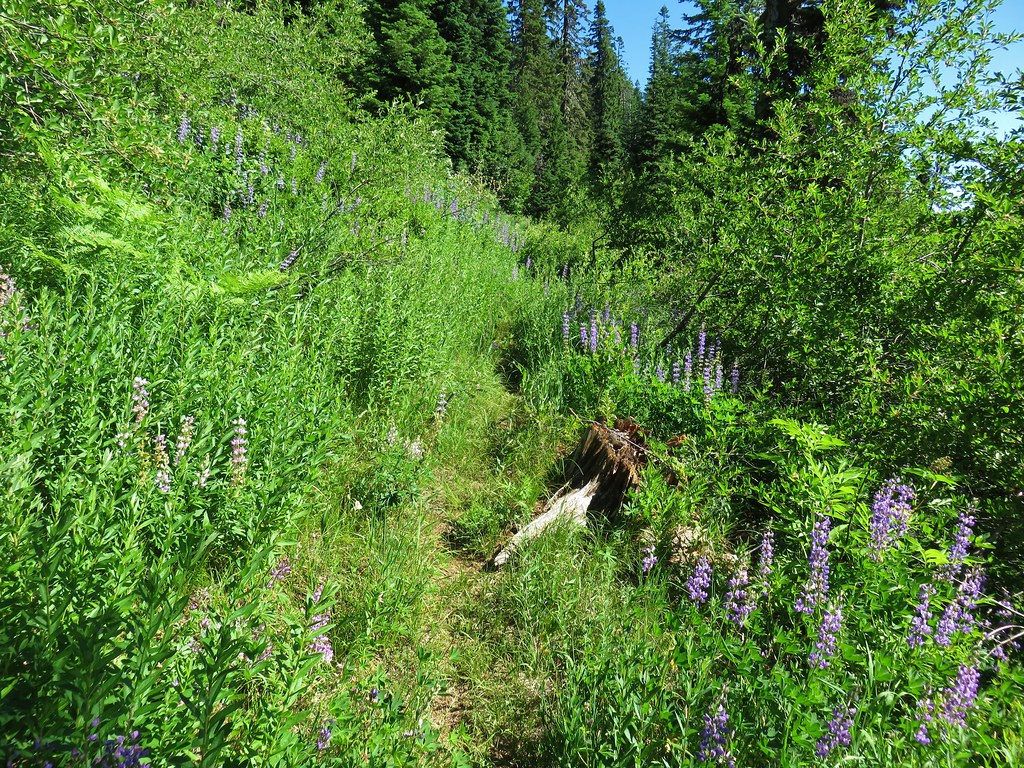 Lupine along the Chucksney Mountain Trail