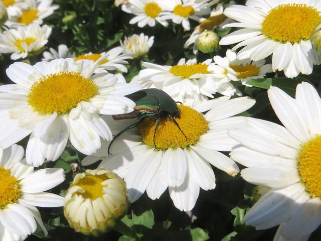 scarab beetle?