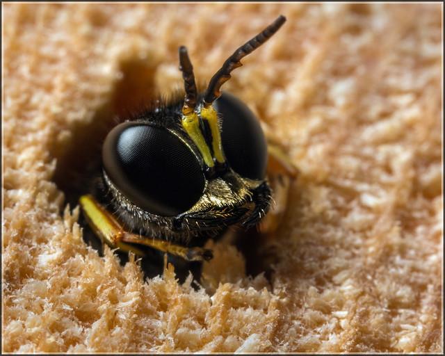 Ectemnius Wasp?