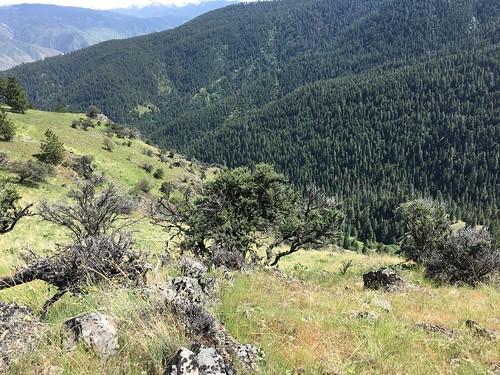 centerridge mountainmahogany cercocarpusledifolius inpsfieldtrip idaho