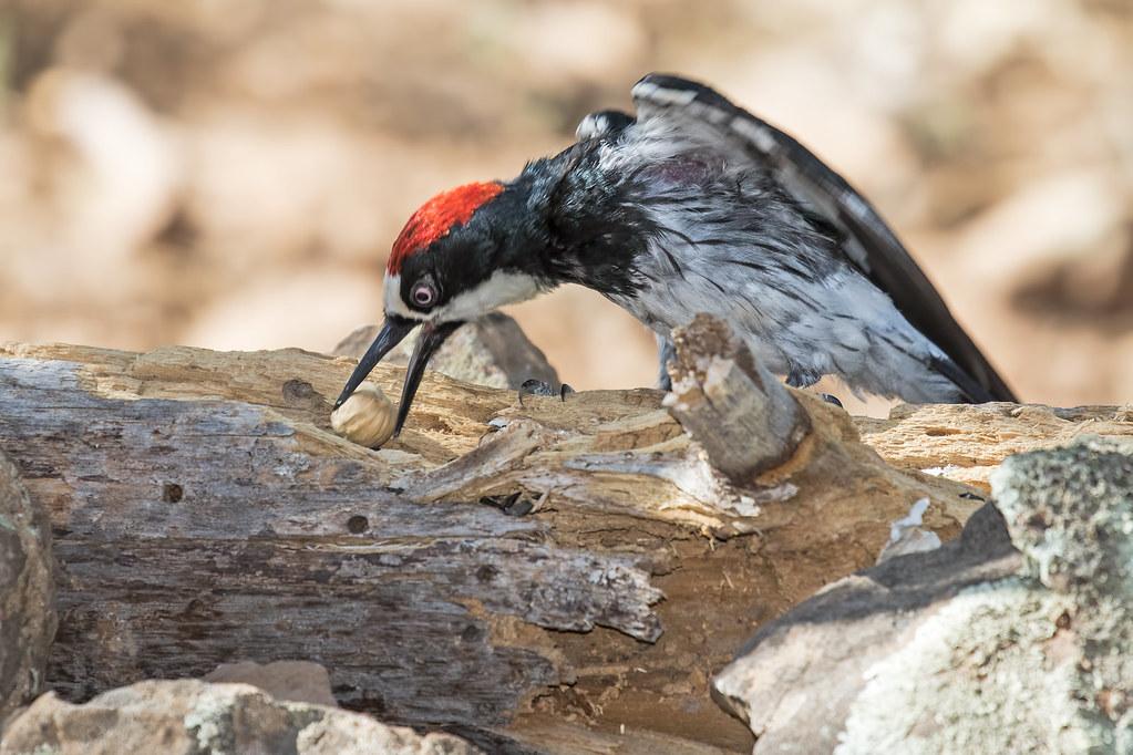 Acorn-Woodpecker-60-7D2-070317