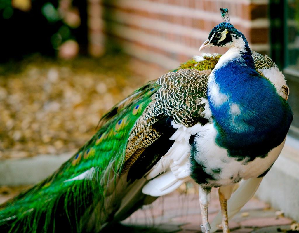 Special Peacock_3