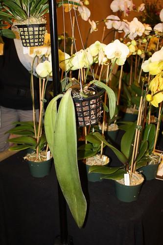 bulb_phalaenopsis