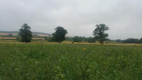 11. Sunflower field near Greenhill copse