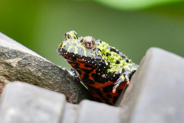 An Oriental fire-bellied toad, Canon POWERSHOT G3 X