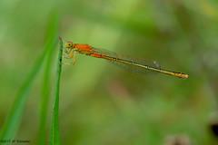 Demoiselle orange - Photo of Pujaudran