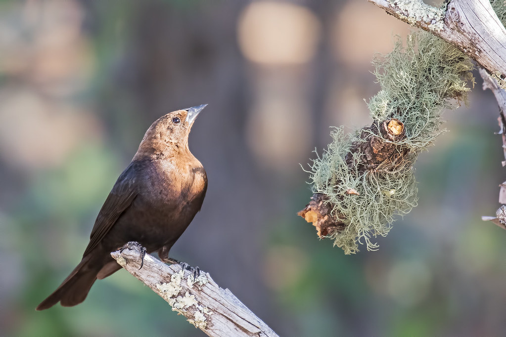 Brown-Headed-Cowbird-86-7D2-070717