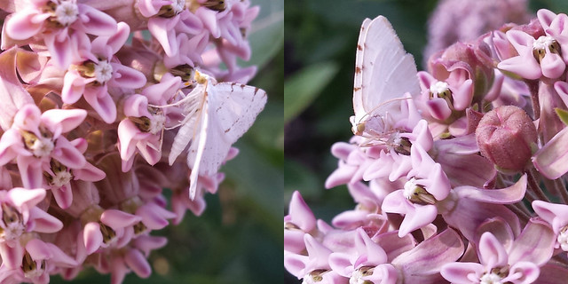 small white moths with a bit of brown stripes, one with its wings open and the other with wings straight behind