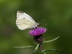 HolderGreen Vein White Butterfly