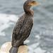 Double Crested Cormorant (20170727-DSC03137)