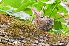 Song Sparrow 5-3 1-17 (Rusty Form) Ridgefield National Wildlife Reserve- Carty Unit