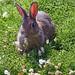 Isle of May Rabbit