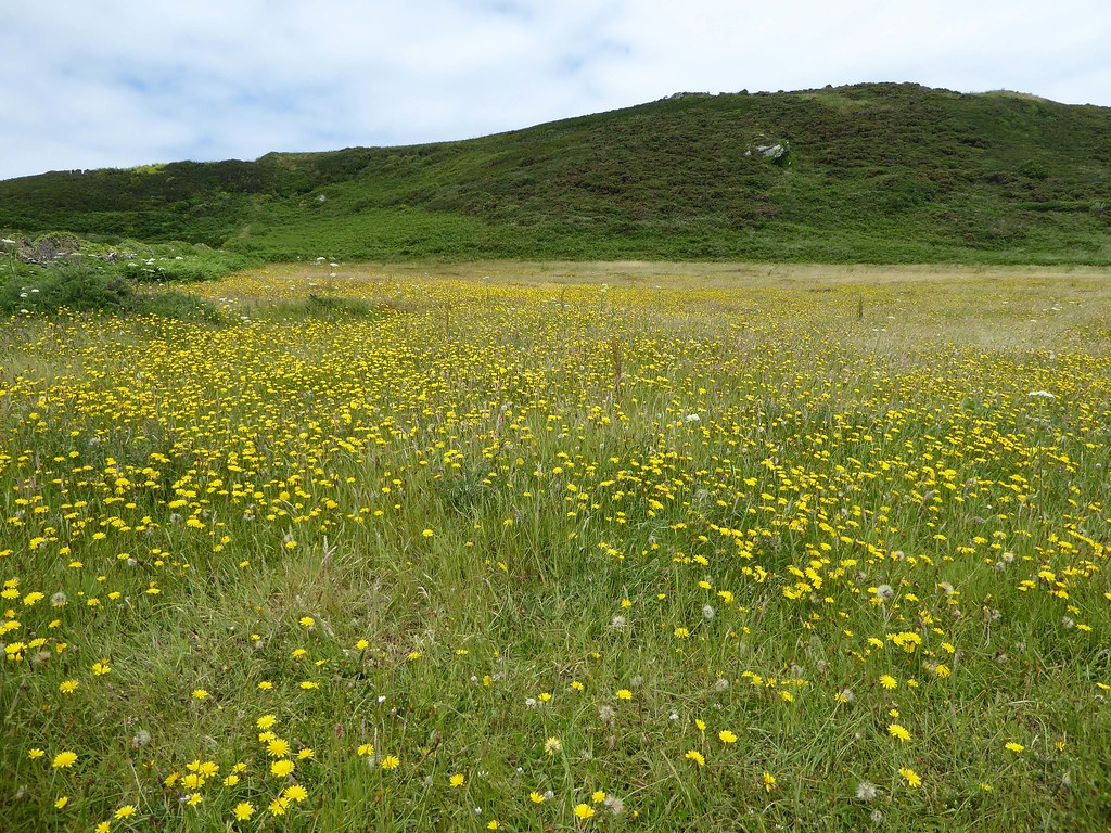 Yellow meadow Prawle Devon