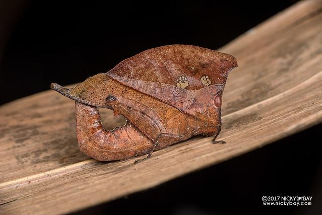 Dead leaf grasshopper (Caelifera) - DSC_7637