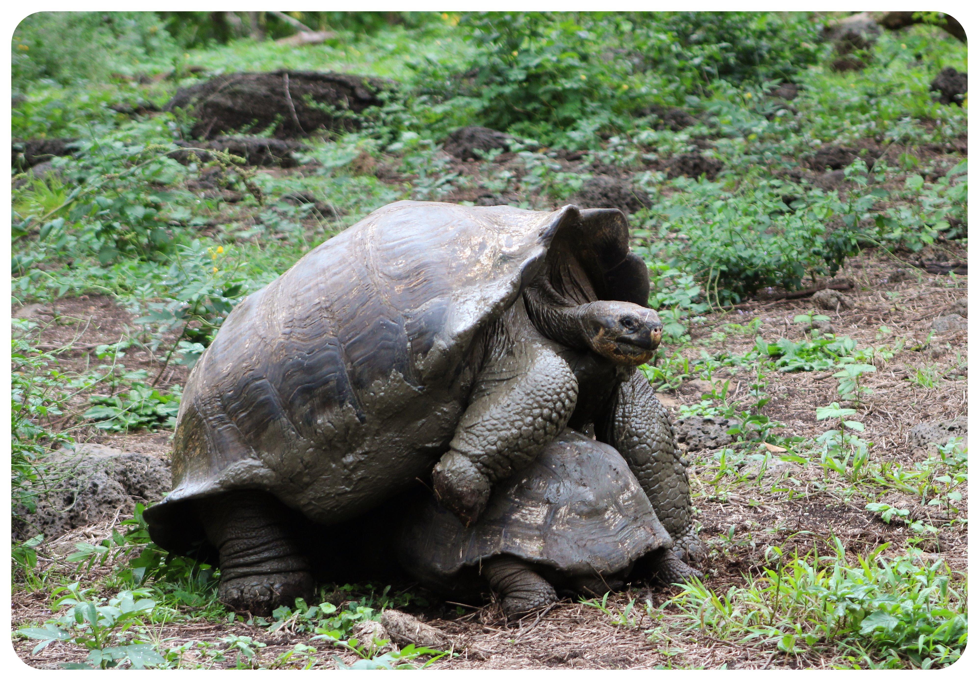 galapagos mating giant tortoises