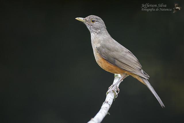 sabiá-laranjeira / Turdus rufiventris - Porto Alegre - 16-07-17