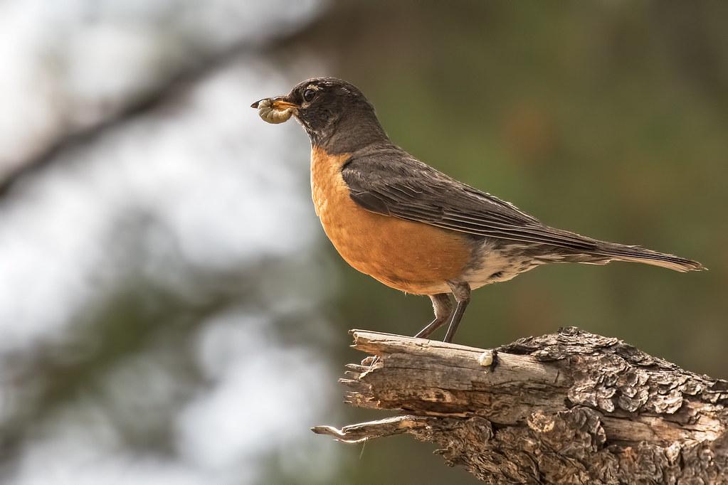 Robin-1-7D2-071217
