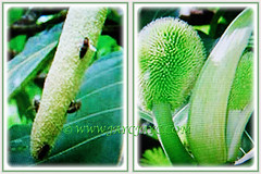 Enchanting male and female flowers of Artocarpus altilis (Breadfruit, Buah Sukun in Malay), 23 July 2017