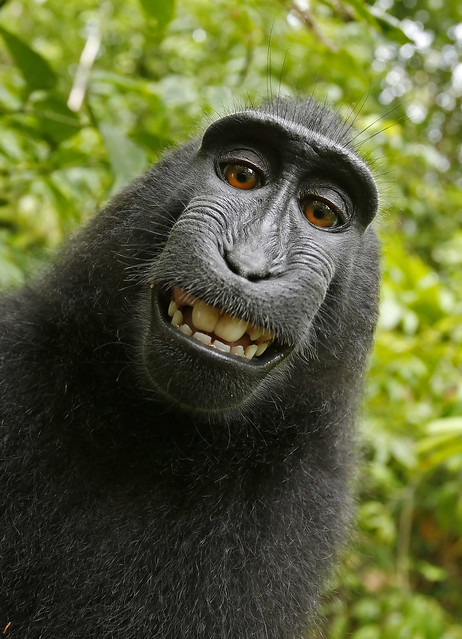 Monkey takes selfie (Macaca nigra self-portrait)