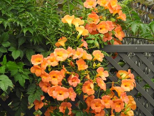 Campsis grandiflora flower cluster
