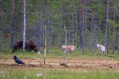 Wolfs staring bear