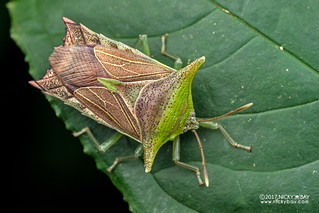 Giant shield bug (Pygoplatys sp.) - DSC_7429
